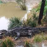 Driftwood Crocodile